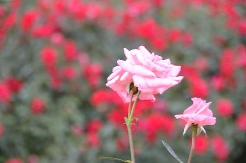 秋バラA (4).JPG